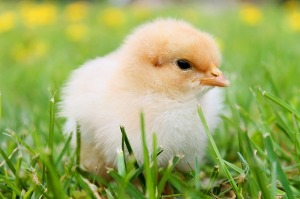 chicks-349035_640